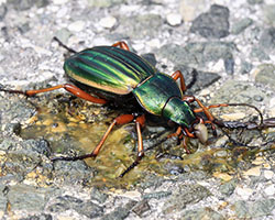 Golden ground beetle
