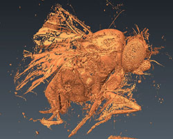 MicroCT fruit fly