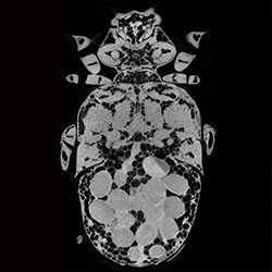 Female beetle x-ray