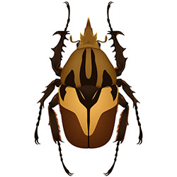 Male beetle illustration