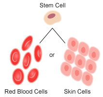 red blood cells and skin cells