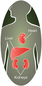 heart, liver and kidneys