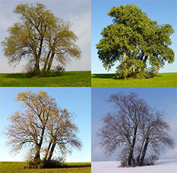 The same tree in four different seasons.