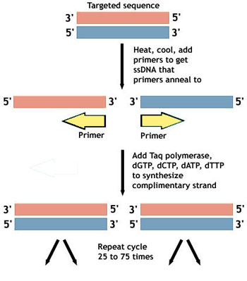 More is not necessarily better  More polymerase produces more    Polymerase Chain Reaction Diagram