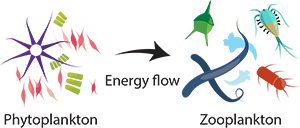 phytoplankton's energy goes to zooplankton