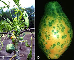 Papaya Ringspot Virus