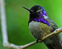 Costa's hummingbird purple perched