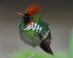 male hummingbird frilled coquette