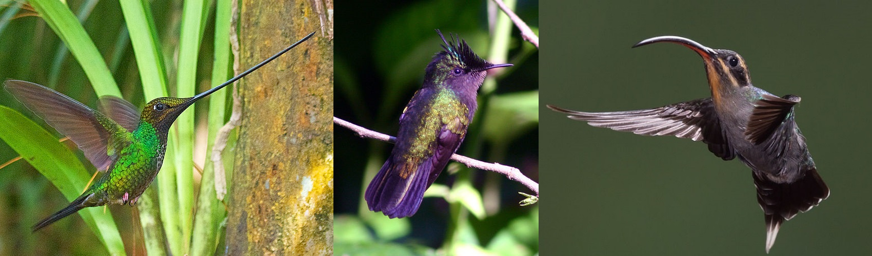 Coevolution Of Hummingbirds And Flowers Ask A Biologist