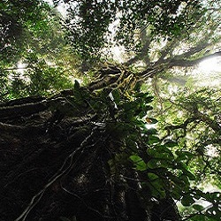 Looking up a tree covered by a strangler fig