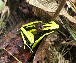 poison dart frog parental care