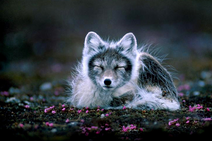 Tundra Arctic Fox In Summer Animals of the ...