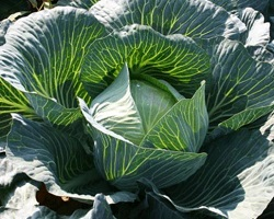 Healthy undamaged cabbage