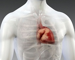 Human heart simulation