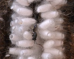 Hyperparasitoid wasp laying eggs in parasitoid cocoons