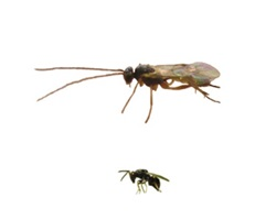 Two hyperparasitoid species