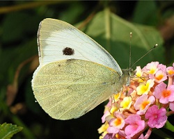 White cabbage butterfly Pieris rapae