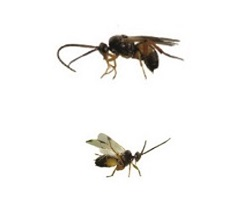 Two parasitoid wasps