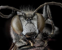 Aculeate wasp face