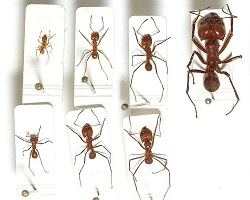 Sizes of leafcutter ants from different castes