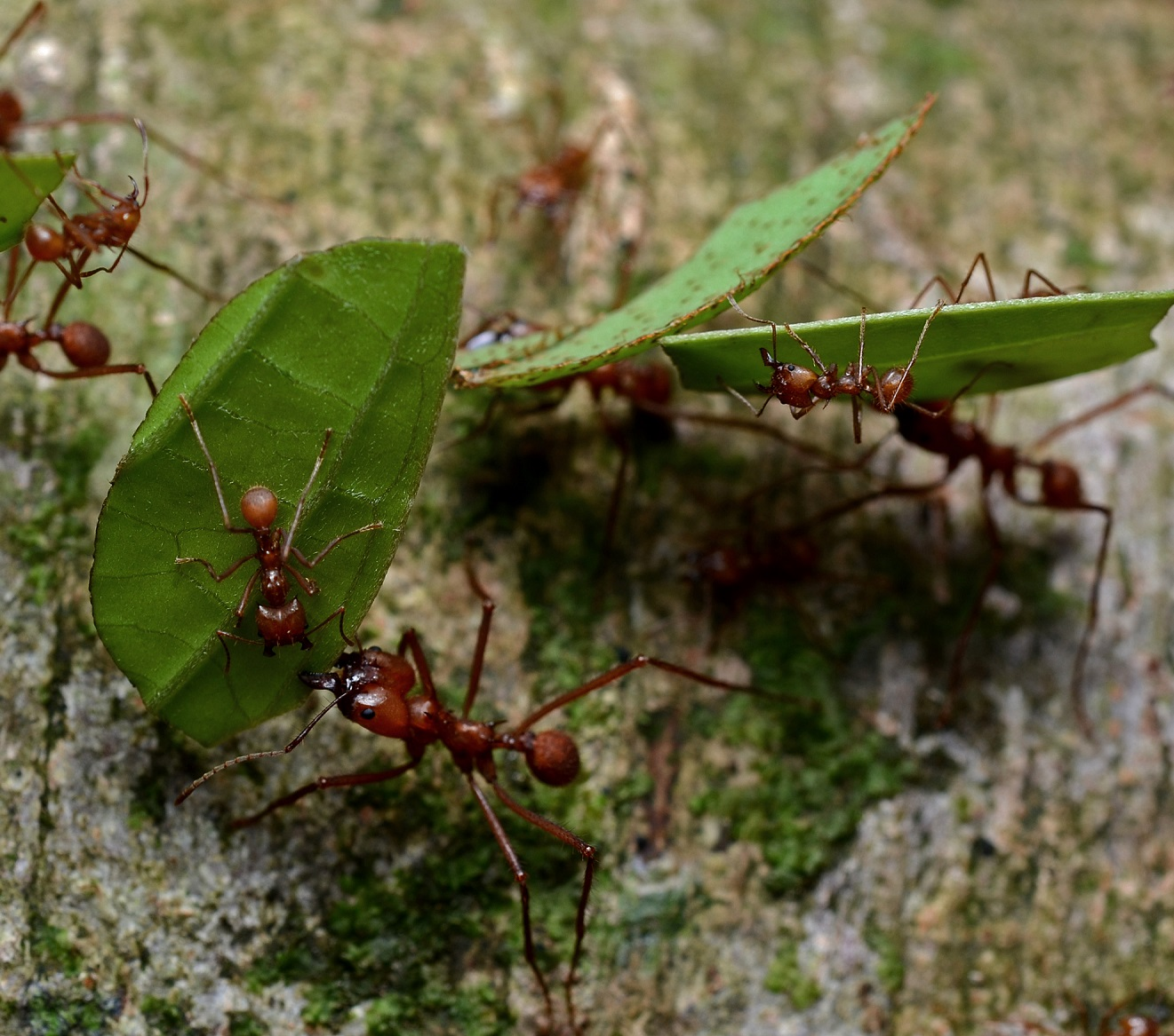 Leafcutter workers and queens ask a biologist leafcutter foragers with guard ants buycottarizona Choice Image