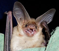 What Foods Do Bats Eat ASU