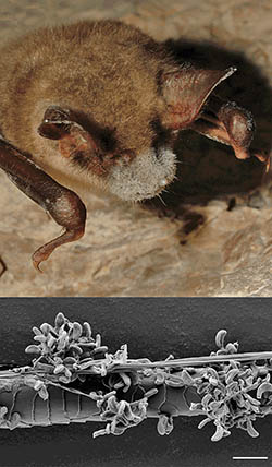 Bat with White-nose syndrome. SEM of fungus infecting bats.
