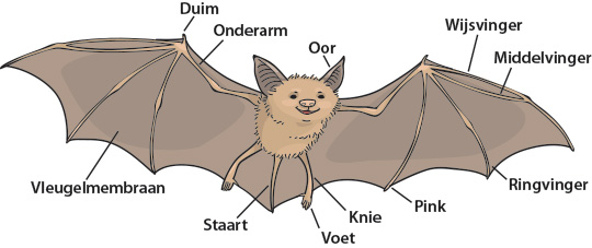 bat illustration with labels