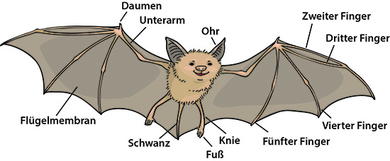 Warum Fledermäuse zu den Guten gehören | Ask A Biologist