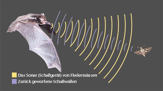 Sind Fledermäuse blind? | Ask A Biologist