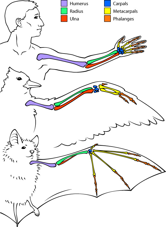bat, bird, human bone comparison illustration