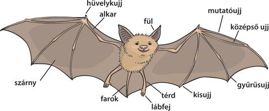 bat illustration with labels