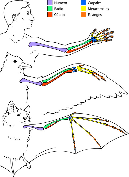 Similitudes entre los huesos de humanos, aves y murciélagos | Ask A ...