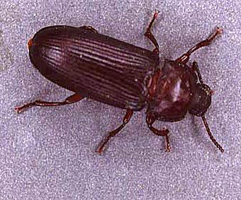 Beetle Reproduction Beetle Reproduction   ...