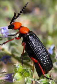 Big Bad Beetles | Ask A Biologist