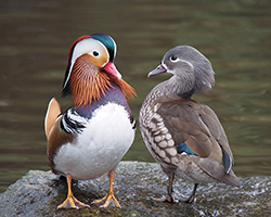 A colorful male and a less colorful female mandarin duck