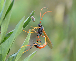 Parasitoid wasp with caterpillar