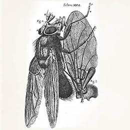 Robert Hooke Blue Fly Illustration