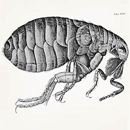 Robert Hooke Flea Illustation