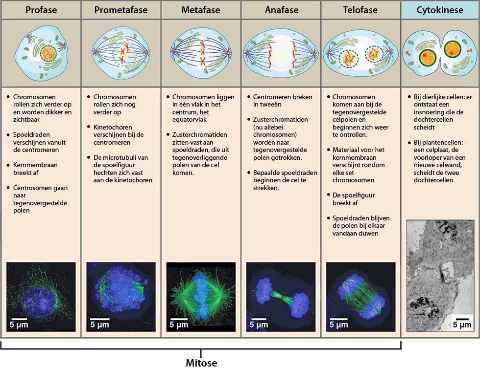 Afbeeldingsresultaat voor celdeling ask