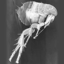 Flea imaged in SEM