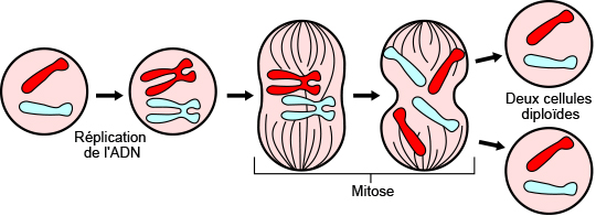 Division cellulaire par mitose