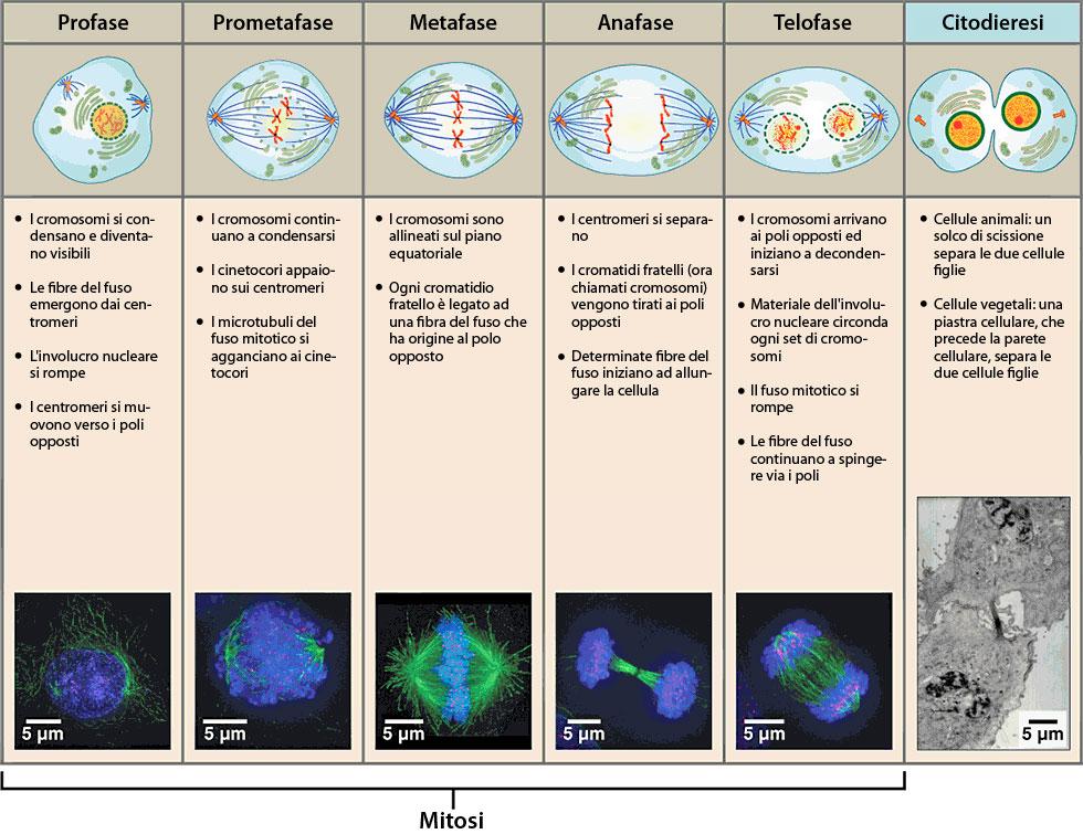Divisione Cellulare Ask A Biologist