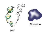 DNA and nucléolo
