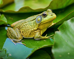 Picture of a bullfrog, a species that is native to the US east, but has moved into areas in the US west.