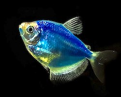 A bright blue fish, called a cosmic blue tetra, that was made to be blue using CRISPR gene editing technology