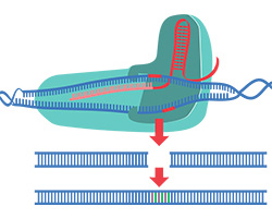 An illustration of CRISPR Cas9