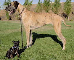 Different dog breeds being compared - a large great dane stands next to a tiny chihuahua