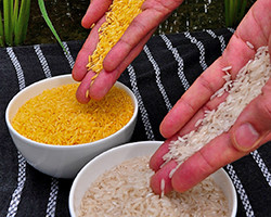 An image showing white rice next to golden rice, which is genetically modified to improve nutrition.