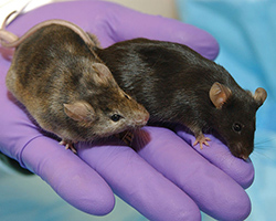 A brown, brindled mouse next to a dark brown lab mouse. The light brown mouse had certain genes associated with hair growth knocked out.